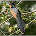 4079 - red-winged crested cuckoo