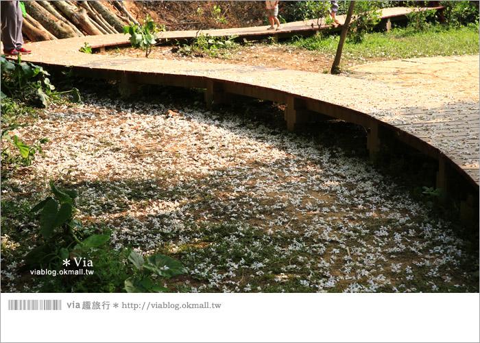 【彰化油桐花】福田桐花生態園區~雪白花毯!每年都會想再回訪的賞桐景點17