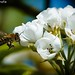 Fleißige Biene / Hardworking Bee by R.O. - Fotografie