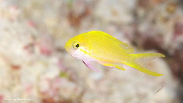 スミレナガハナダイの幼魚は超シャイw