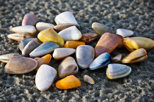 Lots of coquina clams on the beach today. | Flickr - Photo ...