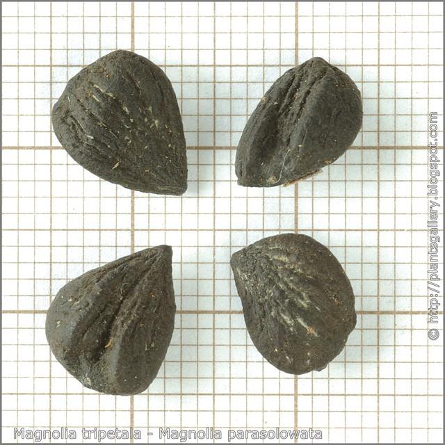 Magnolia tripetala seeds - Magnolia parasolowata nasiona