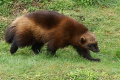 polecat(0.0), mink(0.0), animal(1.0), mustelidae(1.0), mammal(1.0), fauna(1.0), marten(1.0), wildlife(1.0),