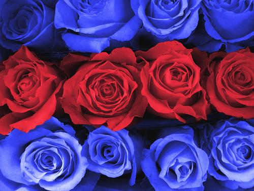 無料写真素材, 花・植物, 薔薇・バラ
