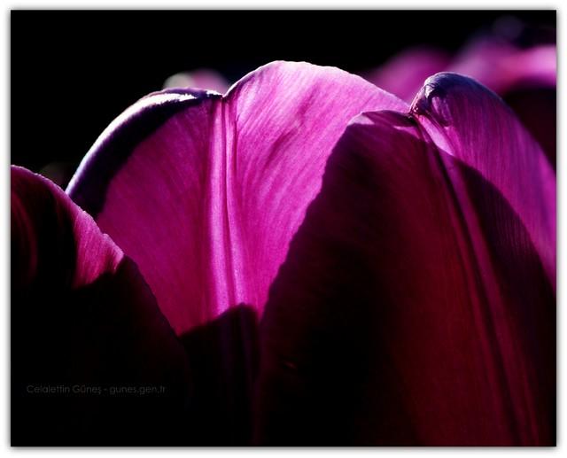 Laleler ve Gölgeler - II -Tulips and Shadows