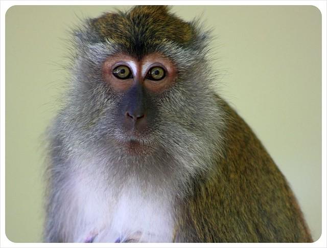 monkey lady langkawi