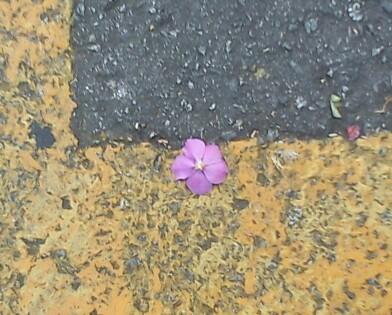 Flor roxa (quaresmeira?)