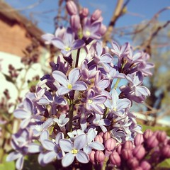 the lilacs are being coy ...