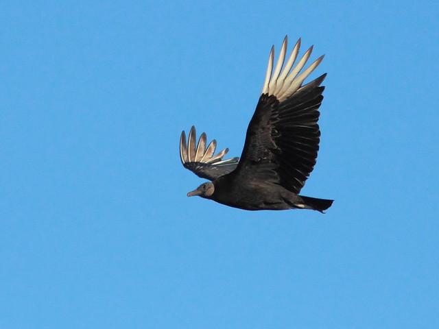 Black Vulture 20120409