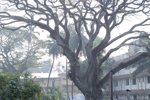 old morning blue india color tree sunrise grey kerala oldtree cochi cochin kochi kochin fortkochi