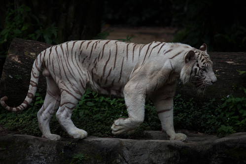White tiger, pacing