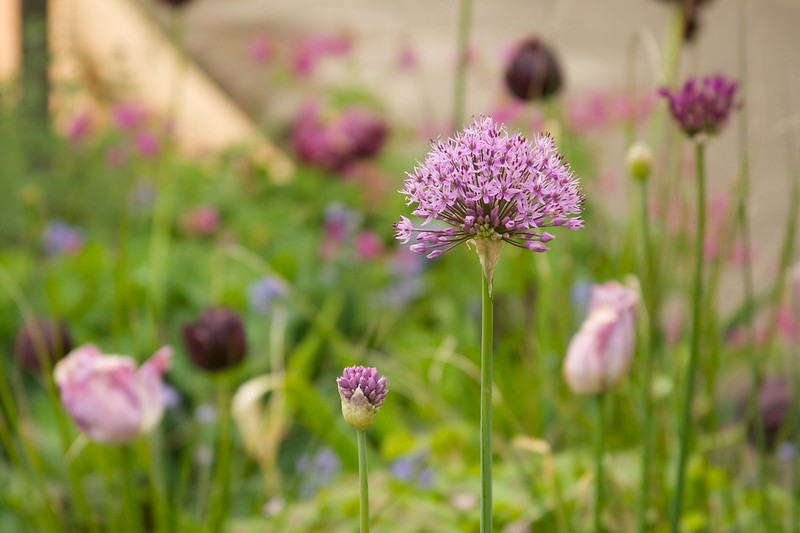 allium purple sensation atropurpureum  1630