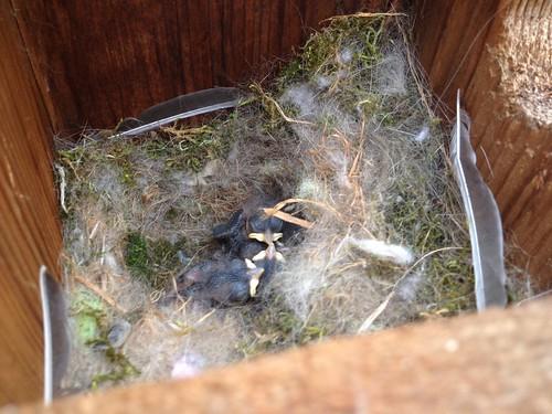 Chickadees Day 8