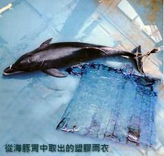 海豚擱淺,死後解剖後,發現胃裡塞了一整件透明的塑膠雨衣。圖片來源:余欣怡