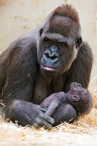 無料写真素材, 動物 , 猿・サル, ゴリラ, 動物  親子