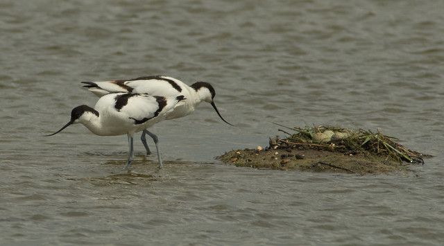 avocet pair + nest