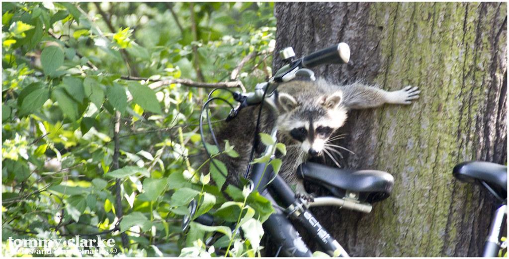 raccoon on a bike