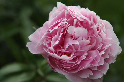 More of a bright pink Peony