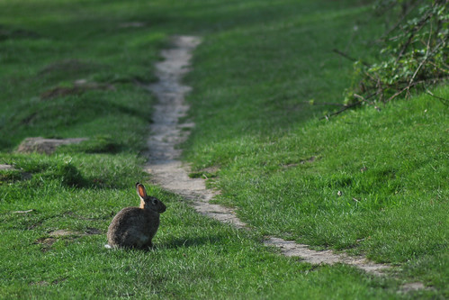 Rabbit in Richmond Park