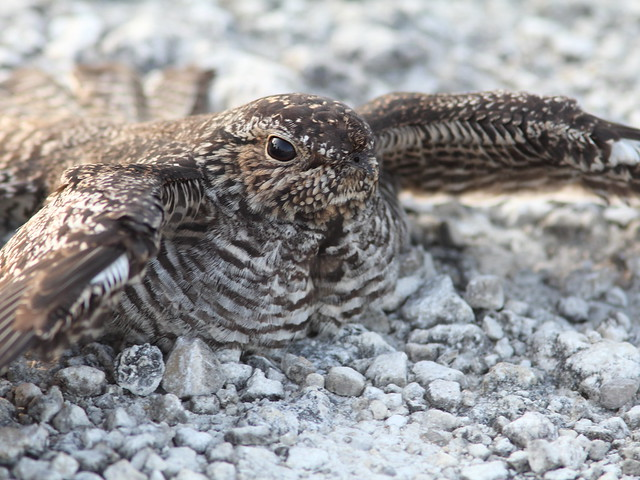 Common Nighthawk macro SOOC 20120614