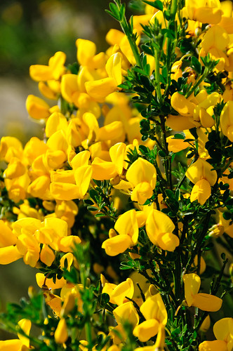 Seattle - Scotch Broom 18May2012 hha_9855 by 2HPix.com - Henry Huey