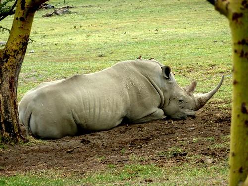 Rhino Nakuru Kenya
