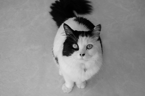 Holden the black and white cat