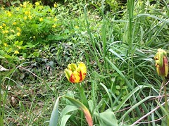 Ma tulips plantée en 2005