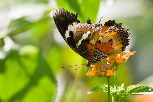 tn butterfly