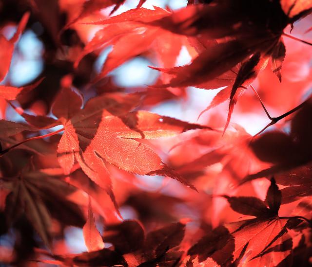 春の紅葉。