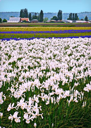 05-28-12 Iris Field by roswellsgirl