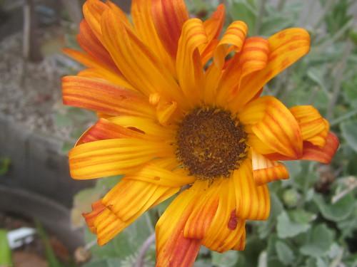 Orange Daisy with Curling Petals