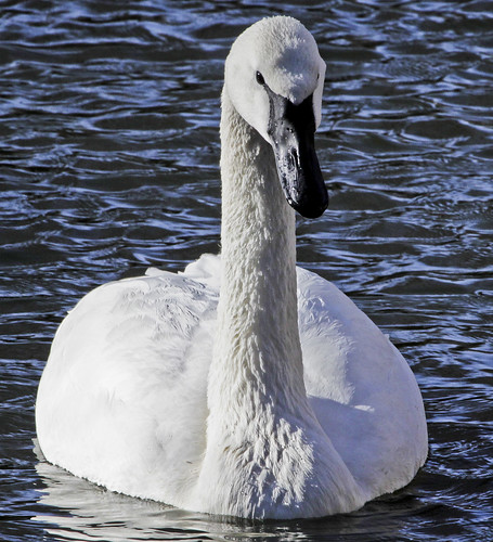 Trumpeter Swan by Ricky L. Jones Photography
