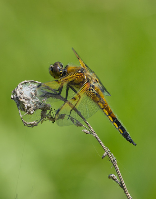 4 spotted chaser 2