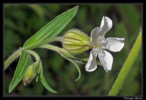Compagnon blanc femelle (Silene latifolia)