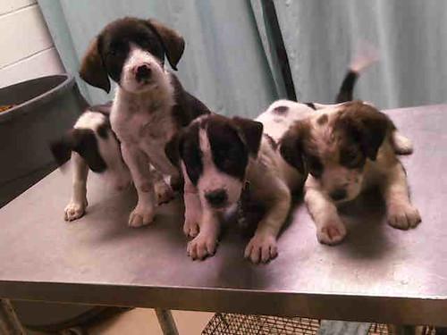 Brown Pitbull Lab Mix Puppies