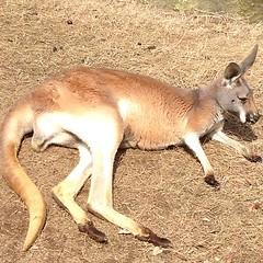 antelope(0.0), vicuã±a(0.0), guanaco(0.0), gazelle(0.0), animal(1.0), marsupial(1.0), mammal(1.0), kangaroo(1.0), fauna(1.0), wildlife(1.0),