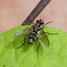 Small photo of Cylindromyia sp. Tachinidae.