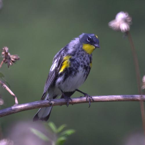 Audubon's Wraber