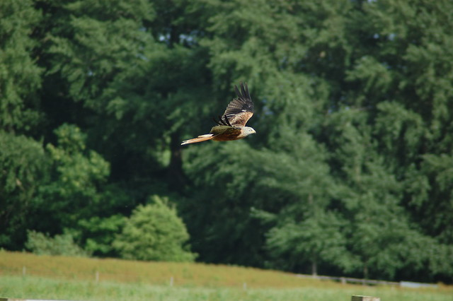 Red Kite Flying Low