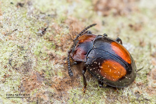 Handsome fungus beetle (Endomychidae) - DSC_1757