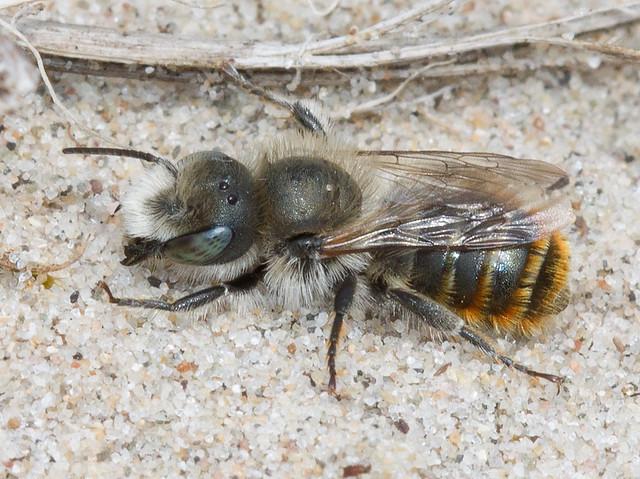 Osmia aurulenta (Gold-fringed mason bee)