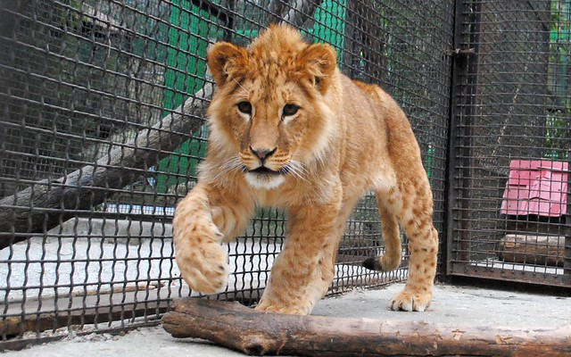 Walking lion cub