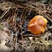 BHP Mushroom 8
