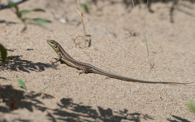 balkan wall lizard