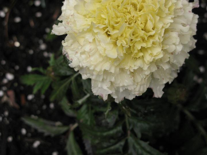 spring garden 011
