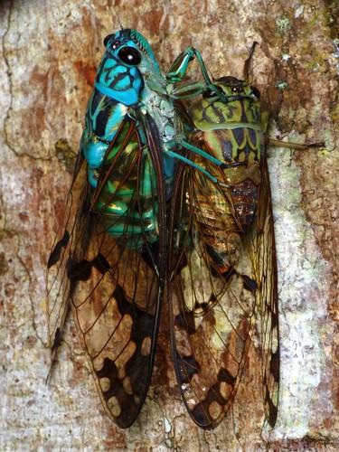 Emerald Cicada pair, Zammara smaragdina