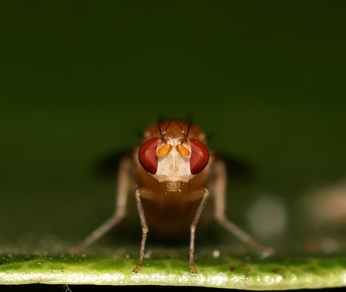 Drosophila Staredown