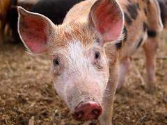 polyface pig