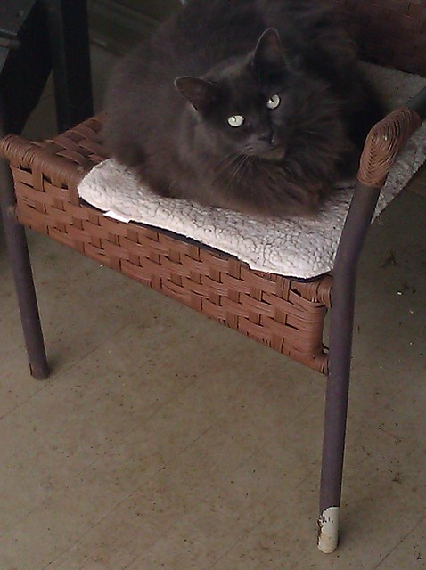 Graydie, my dark gray Maine coon cat with almost-white eyes, sitting on a patio chair and looking up at the camera.